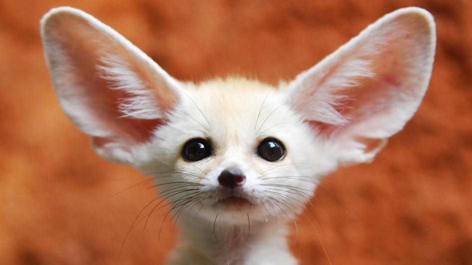 ww-animal-ears-fennec-fox.adapt.945.1
